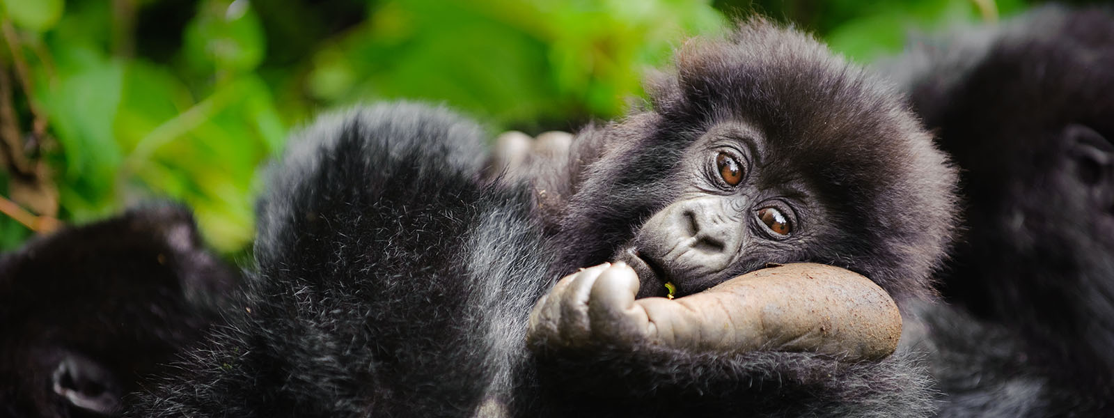 BEST DR Congo Gorilla Safari Holidays & Tours