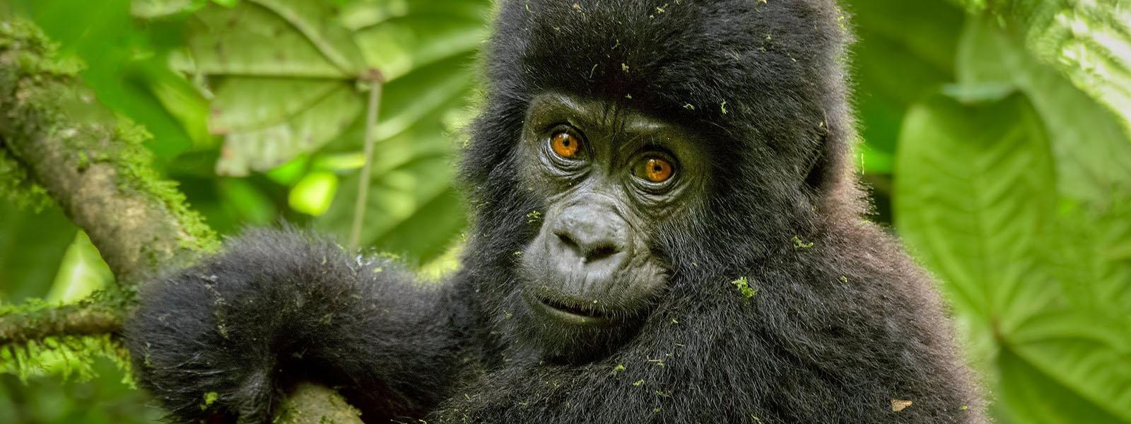Uganda Gorilla Trekking From Kigali