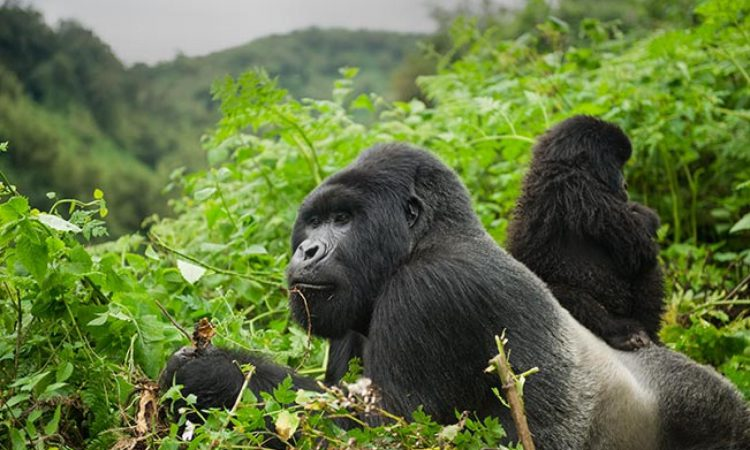 1 Day Express Rwanda Gorilla Tour