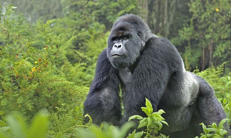 2 Days Rwanda Gorilla Safari