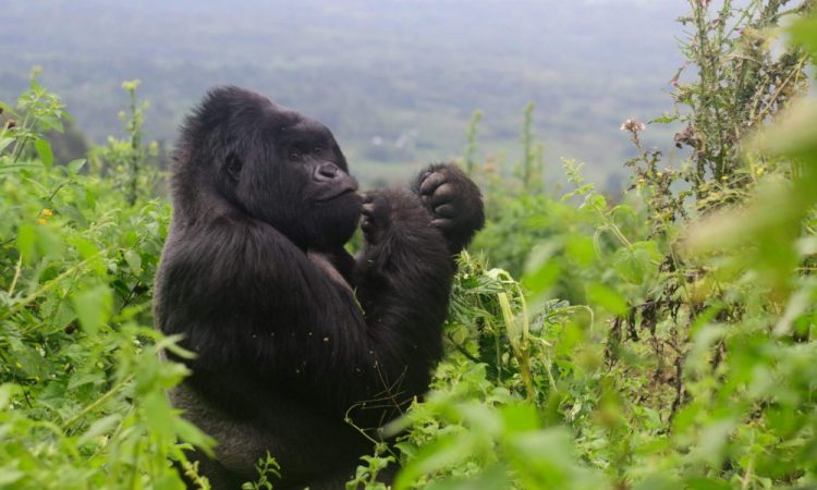 2 Days Virunga Gorilla Trekking from Kigali