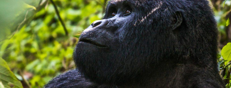 3 Days Bwindi gorilla habituation from Kigali