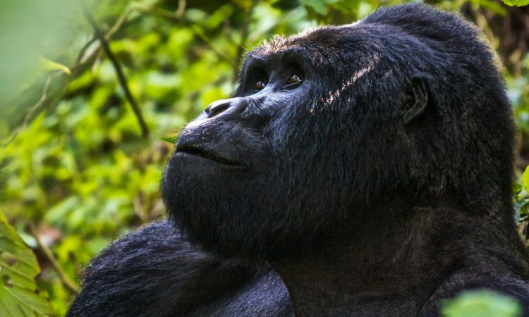 3 Days Bwindi gorilla habituation from Kigali