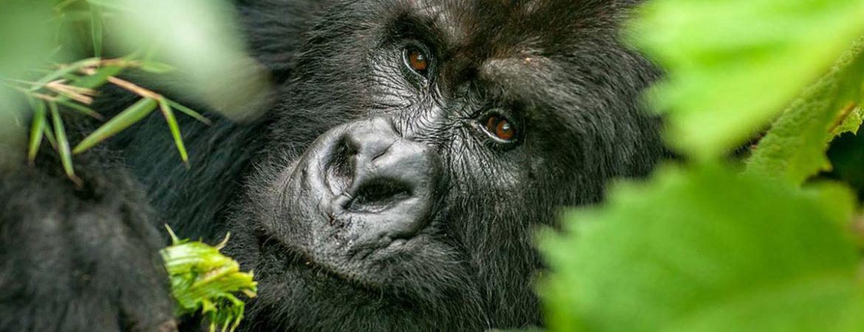 3 Days Bwindi gorilla trekking from Entebbe Uganda