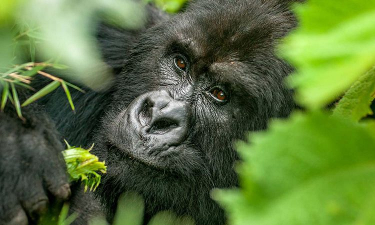 3 Days Bwindi gorilla trekking from Entebbe Uganda