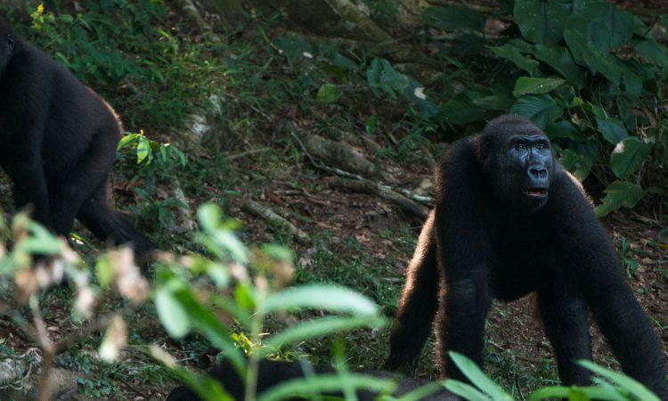 3 Days Lowland Gorilla Trekking Congo