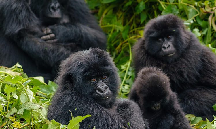 3 Days Mgahinga Gorilla Tour