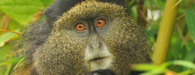 4 Days Gorillas & Golden Monkeys Safari