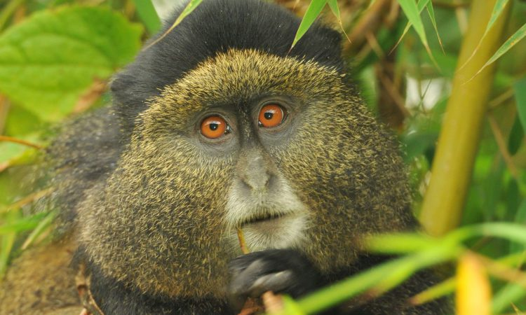 4 Days Gorillas & Golden Monkeys Safari