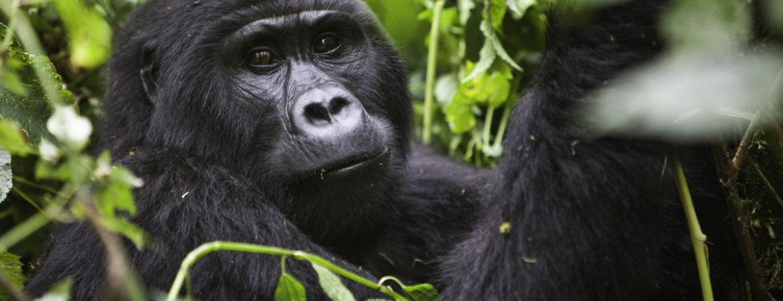 4 Days Virunga Double Gorilla Trekking
